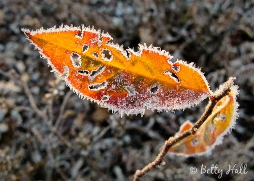 itea virginica leaf and frost