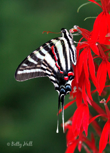 Zebra swallowtail butterfly on cardinal flower