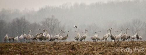 Grus canadensis in Kentucky