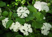 viburnum dentatum blossoms