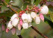 vaccinium blossoms