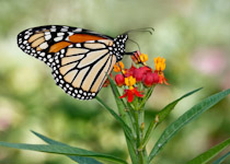 asclepias curassavica and monarch