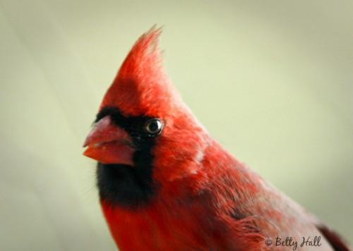 cardinalis cardinalis closeup