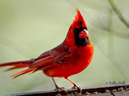 Cardinalis cardinalis sideview