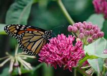 asclepias purpurea and monarch