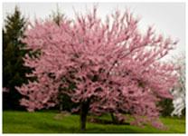 Redbud (Cercis canadensis) tree in bloom