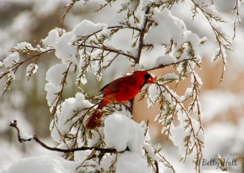 cardinalis cardinalis eating suet
