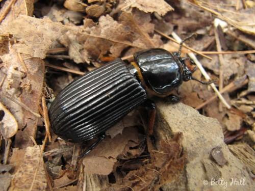 Alobates beetle