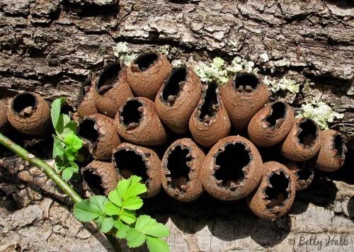 Urnula craterium mushrooms