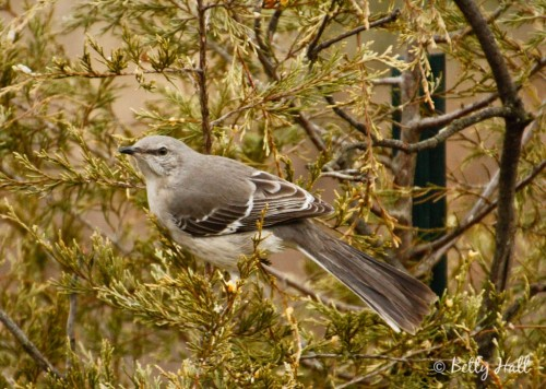 mockingbird in cedar tree