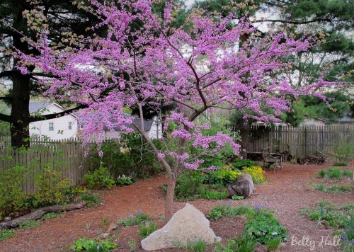 cercis canadensis in bloom