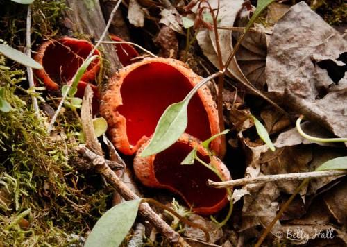 sarcoscypha dudleyi mushrooms