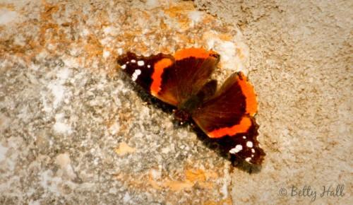 vanessa atalanta butterfly basking