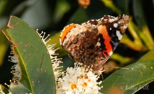 Vanessa atalanta butterfly side-view