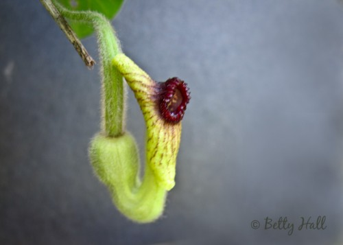 Aristolochia tomentosa flower