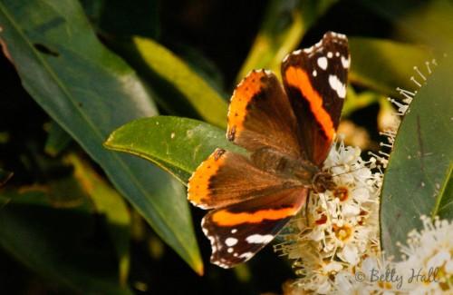Vanessa atalanta butterfly top-view