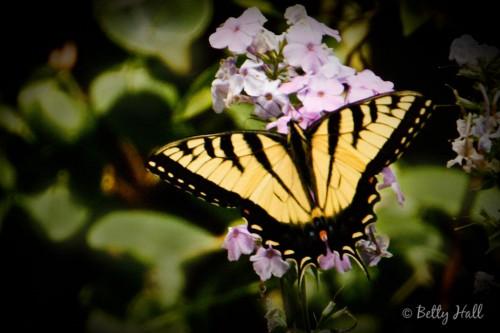 Papilio glaucus on phlox