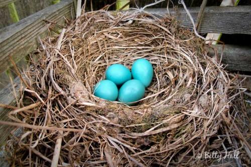 four robin eggs in nest (Turdus migratorius)