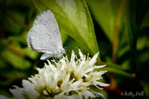 Celastrina ladon butterfly on itea