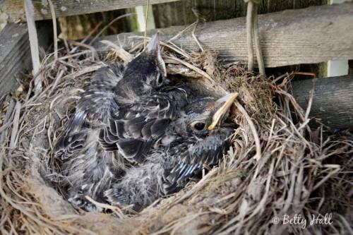 Turdus migratorius nestlings