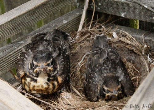 Two young Turdus migratorius in Nest