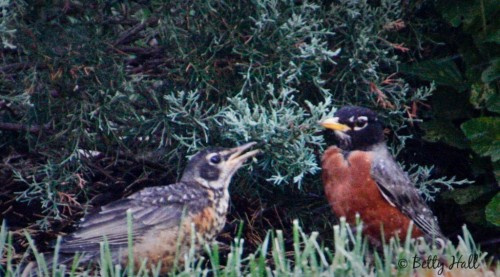 Adult and Immature Robin