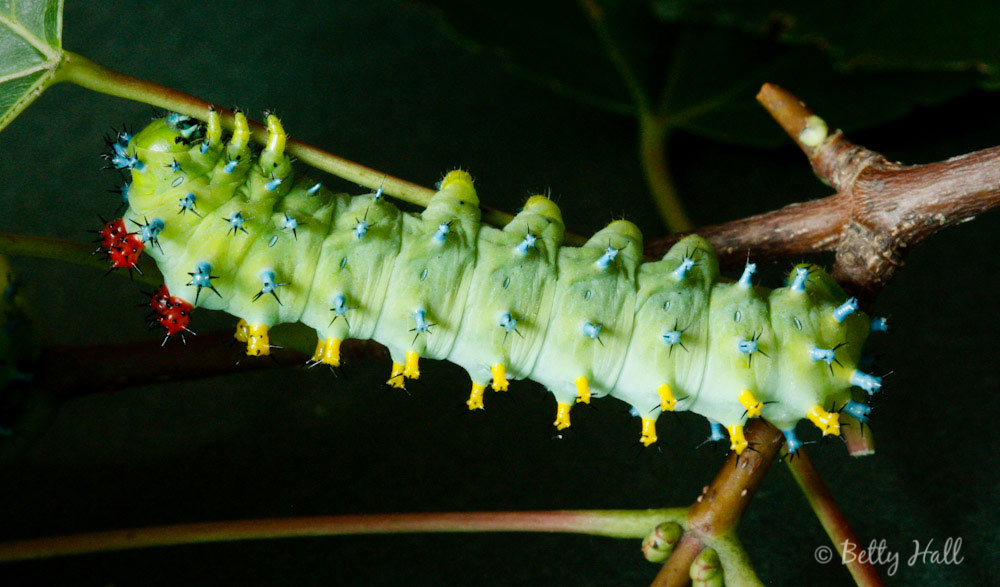 Hyalophora cecropia moth caterpillar at five weeks
