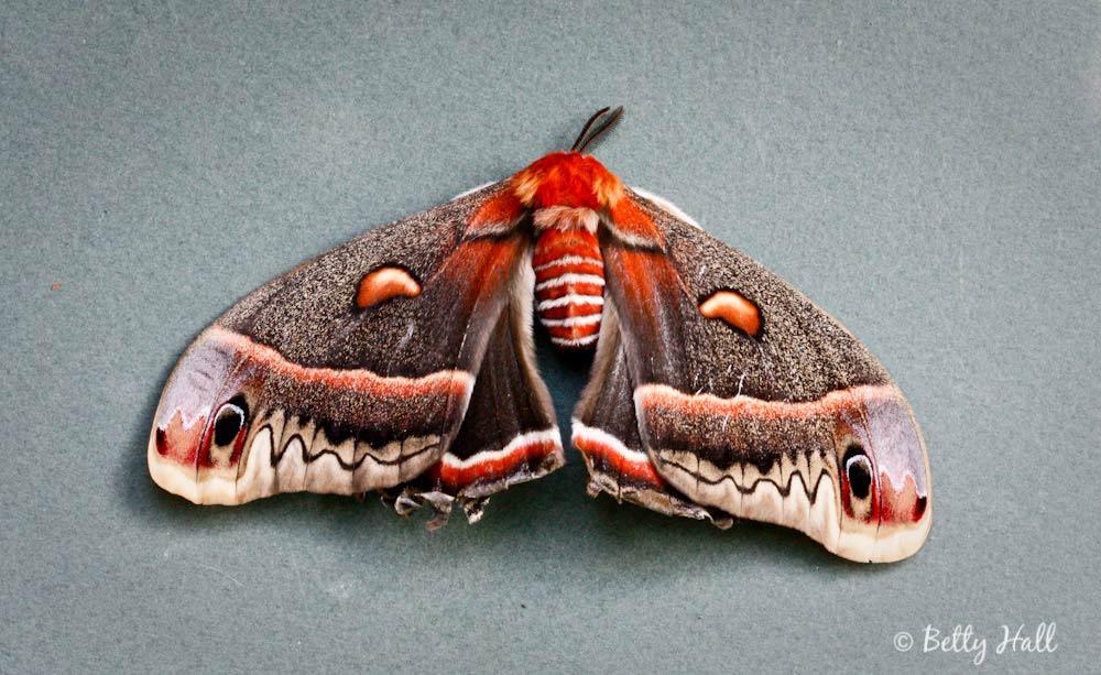 Hyalophora cecropia moth