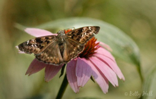 Erynnis horatius Butterfly on Echinacea purpurea