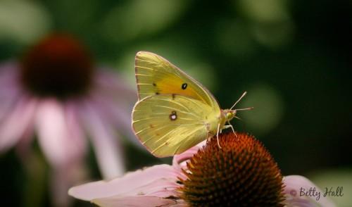 Colias Eurytheme Butterfly on EchinaceaPurpurea