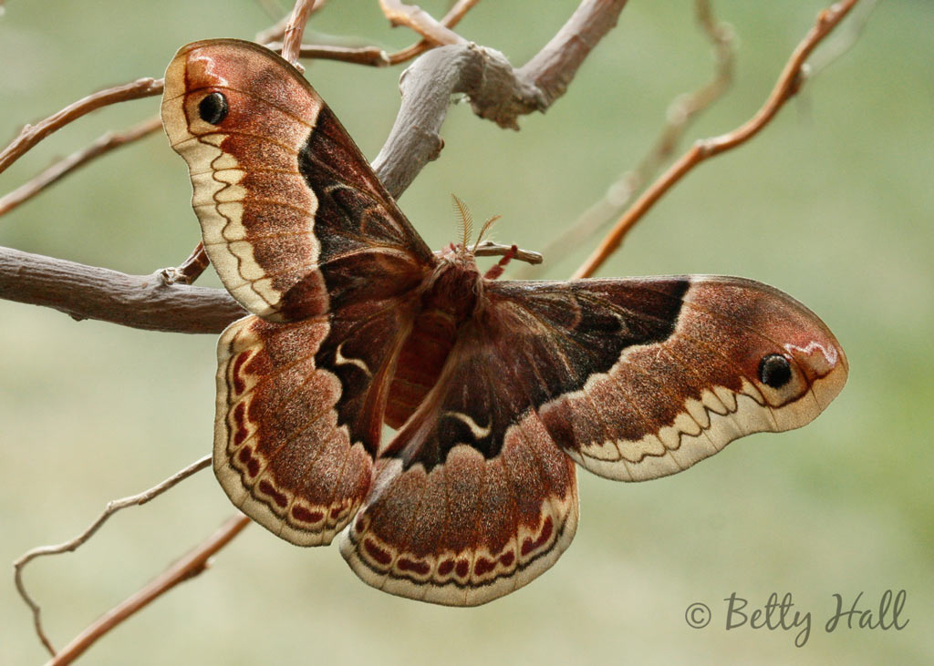 Female Callosamia promethea moth