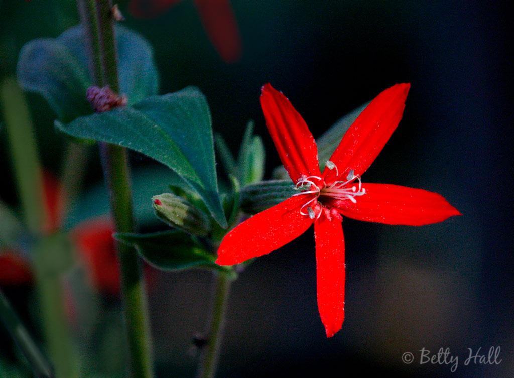 Silene regia blossom close-up