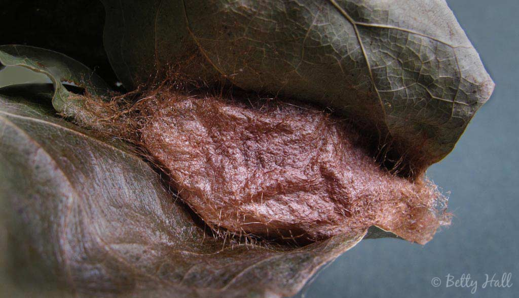 Callosamia promethea Moth Cocoon