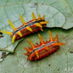 Stinging Rose Caterpillars - Parasa indetermina