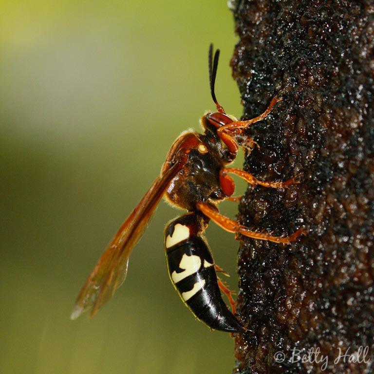 Sphecius speciosus wasp