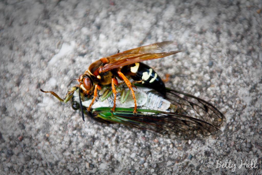 Sphecius speciosus wasp parasitizing a cicada