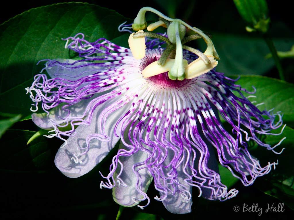 Passiflora incarnata vine blossom