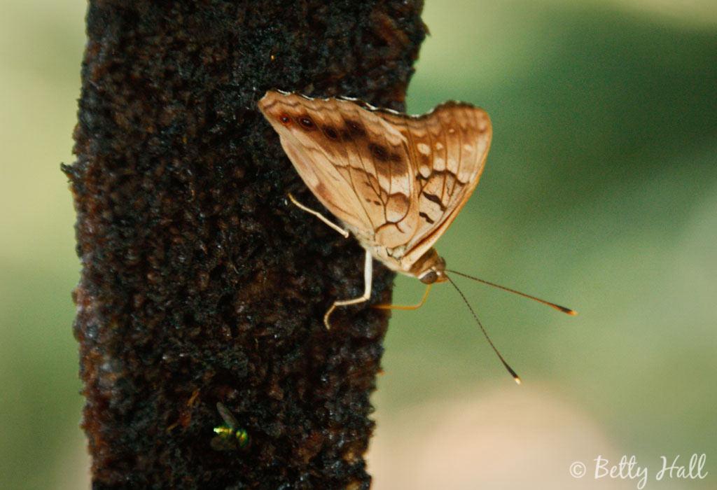 Asterocampa clyton butterfly