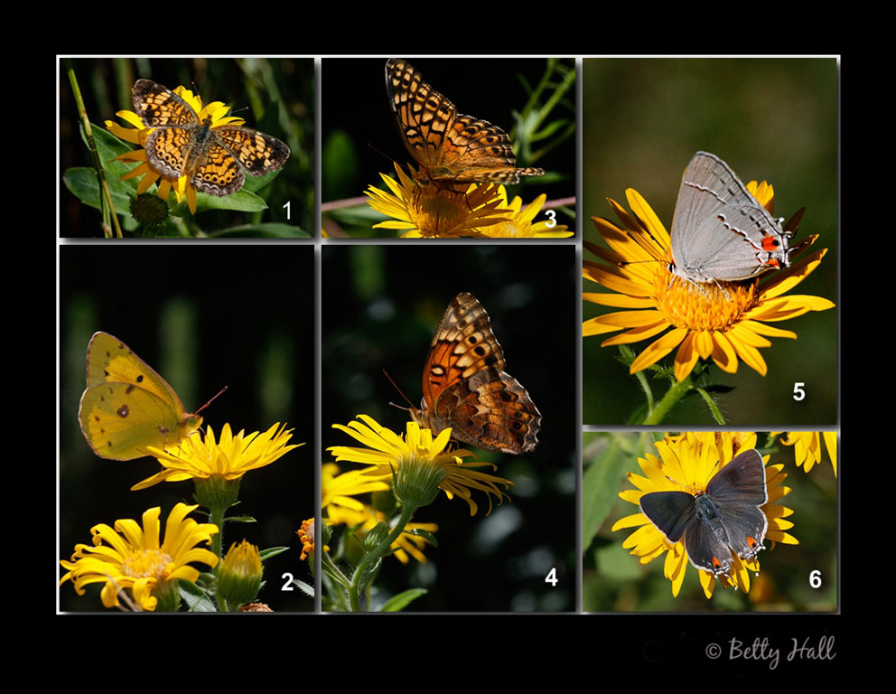four different butterflies nectaring on golden aster