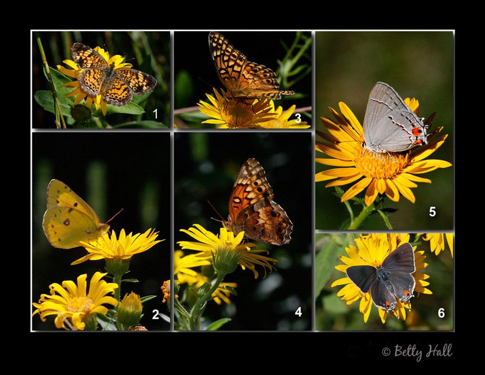 four different butterflies nectaring on golden aster