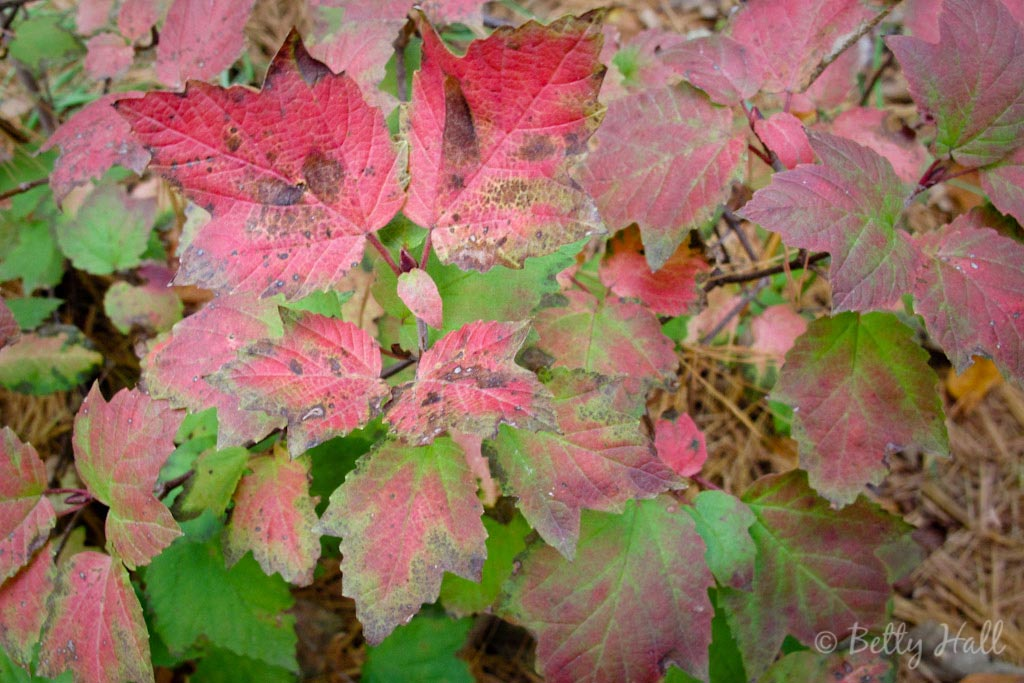 pink and green leaves of maple-leaf viburnum in October