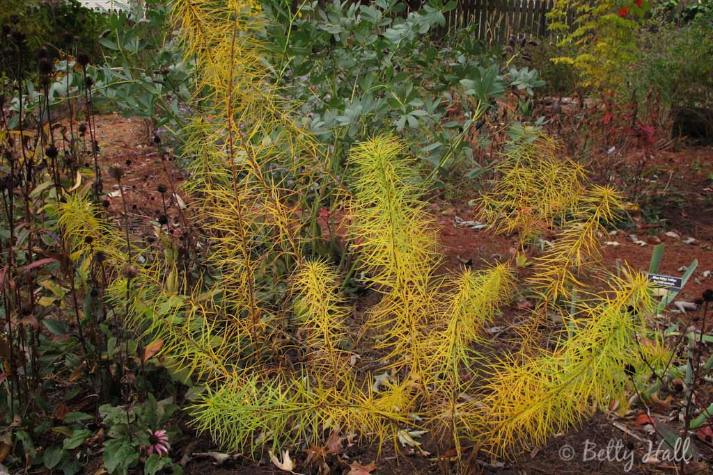 finely textured yellow leaves of thread-leaf amsonia