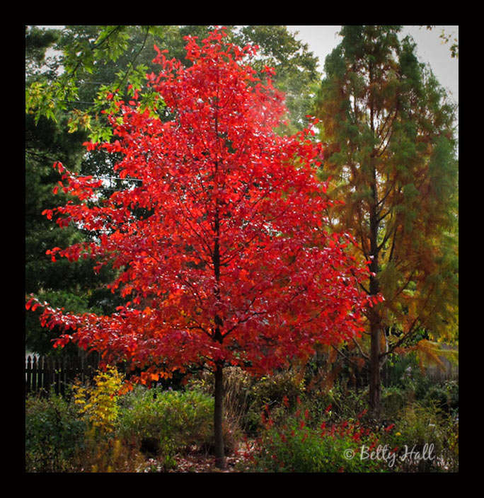 Nyssa sylvatica tree with brilliant red leaves