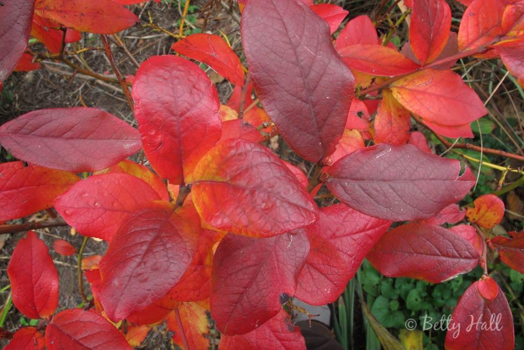 Bright red leaves of  Vaccinium corymbosum