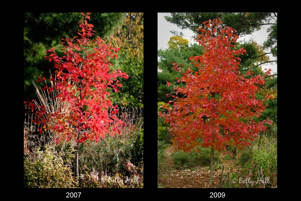 two images of a young nyssa sylvatica tree with brilliant color
