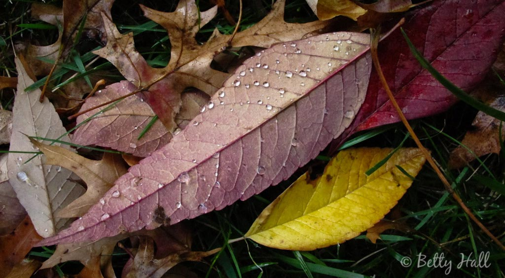 Water drops on fallen white ash leaves