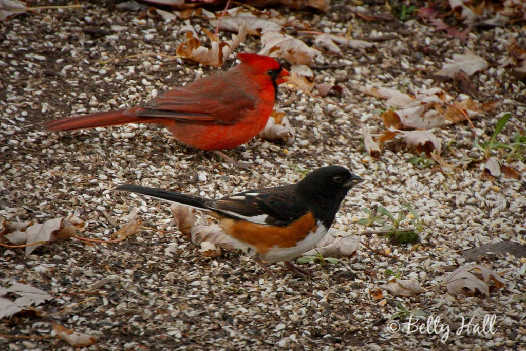 Male eastern towhee and bright red male Northern cardinal