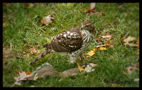 Immature coopers hawk with squirrel it has killed