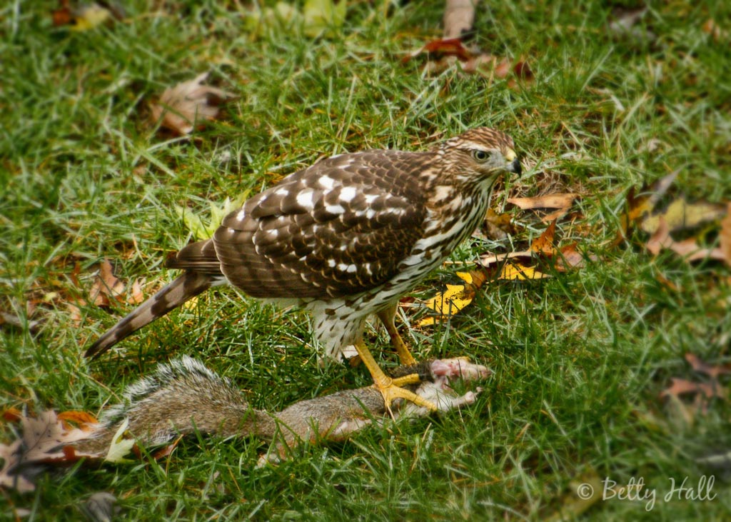 Red-shouldered hawk eating a grey squirrel