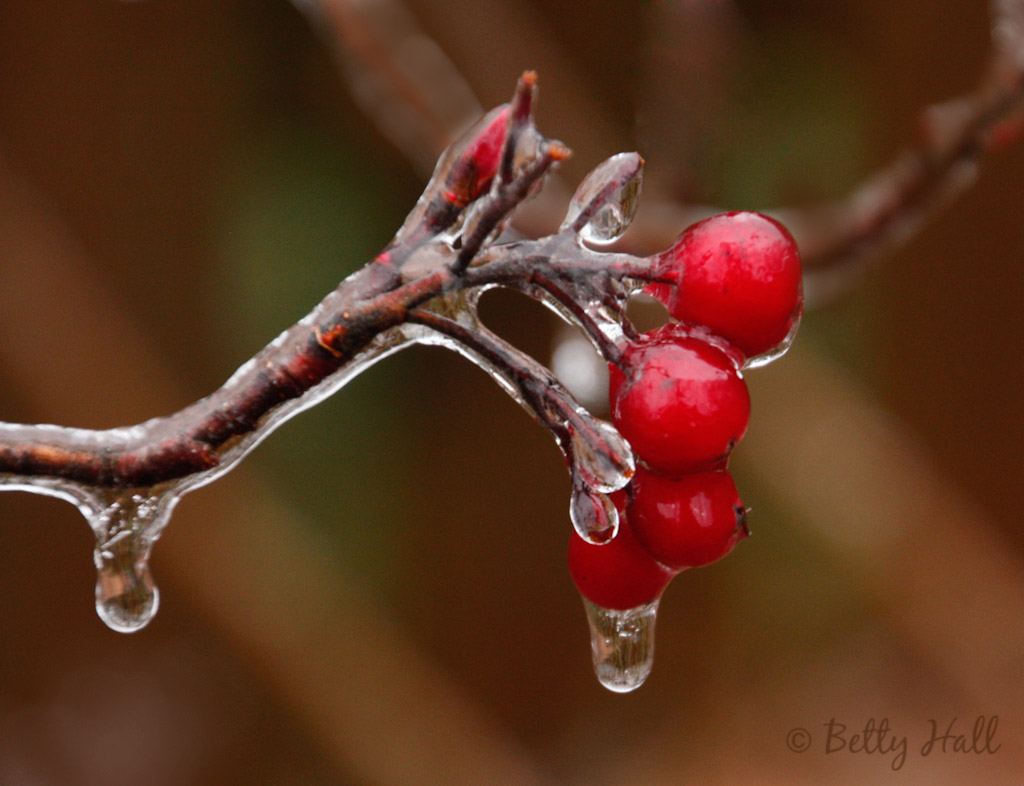 Ice covered red chokeberries